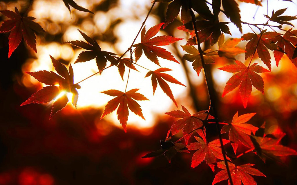 autumn-glow-maple-colors-sky-leaves